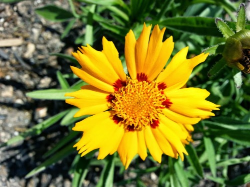 Tickseed (coreopsis) A beautiful spreading perennial that is long blooming.
